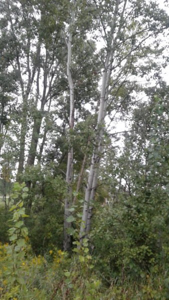 Beautiful Birch Trees